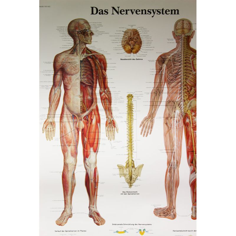 3B Scientific Das Nervensystem, 14,90 €