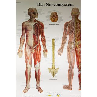 3B Scientific Das Nervensystem