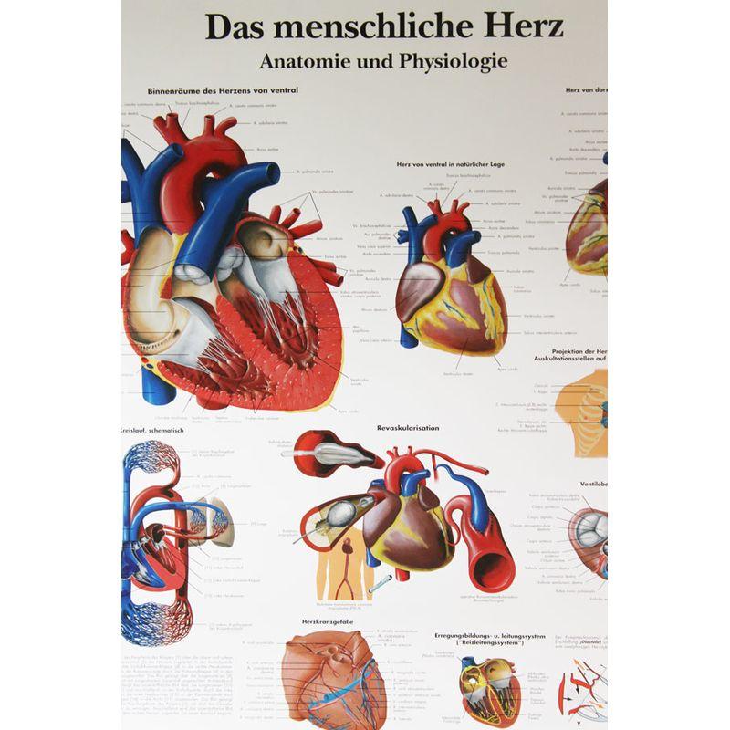 3B Scientific Das menschliche Herz-Anatomie, 14,90 €